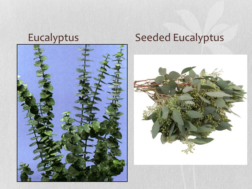 Eucalyptus Seeded Eucalyptus