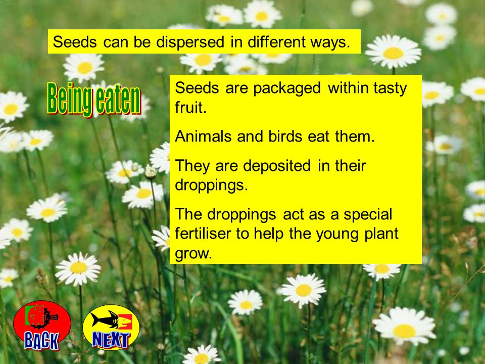 Seeds can use the wind to leave home.Some seeds are light and have tiny parachutes.