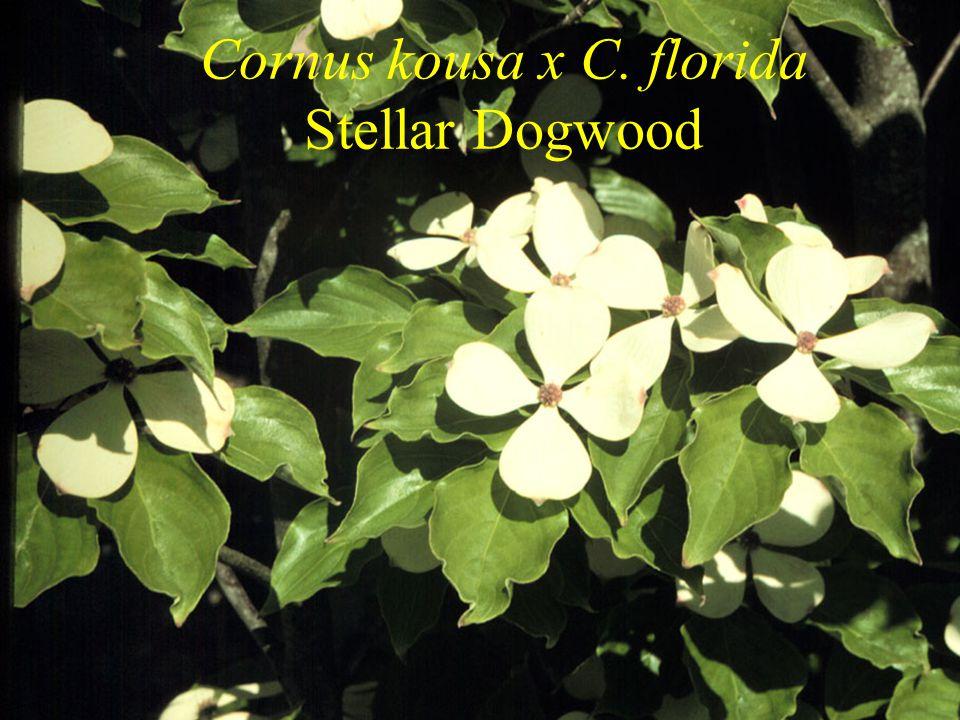 Cornus kousa x C. florida Stellar Dogwood