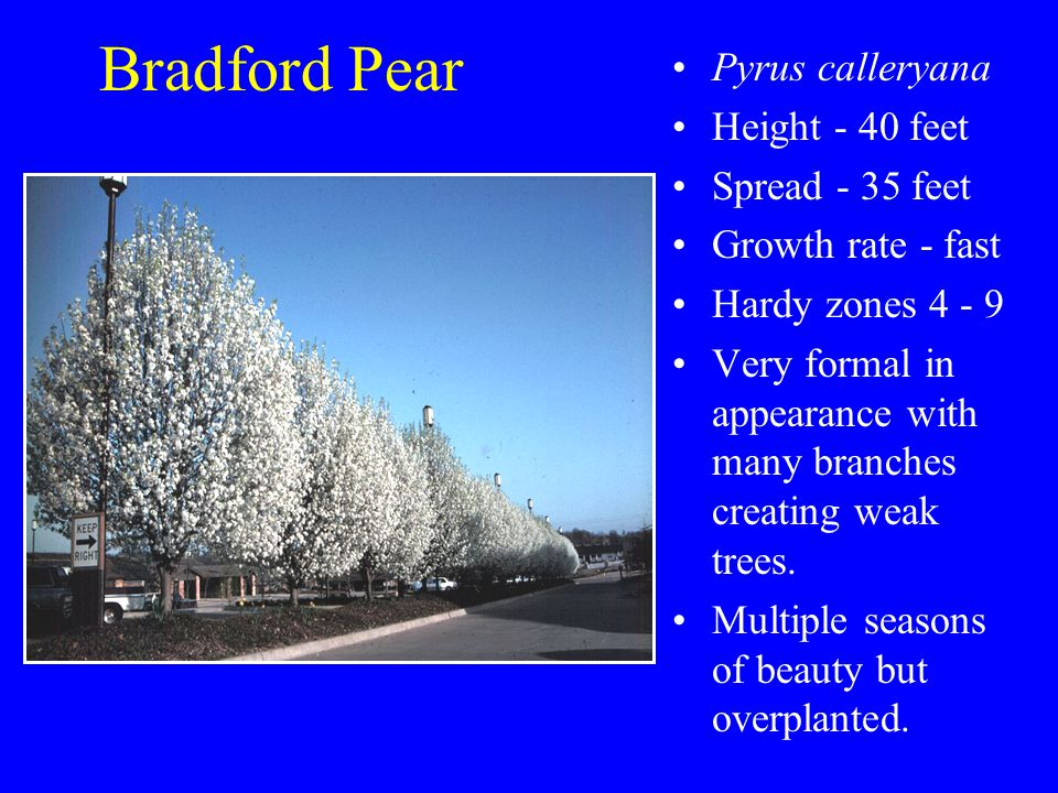 Bradford Pear Pyrus calleryana Height - 40 feet Spread - 35 feet Growth rate - fast Hardy zones 4 - 9 Very formal in appearance with many branches creating weak trees.