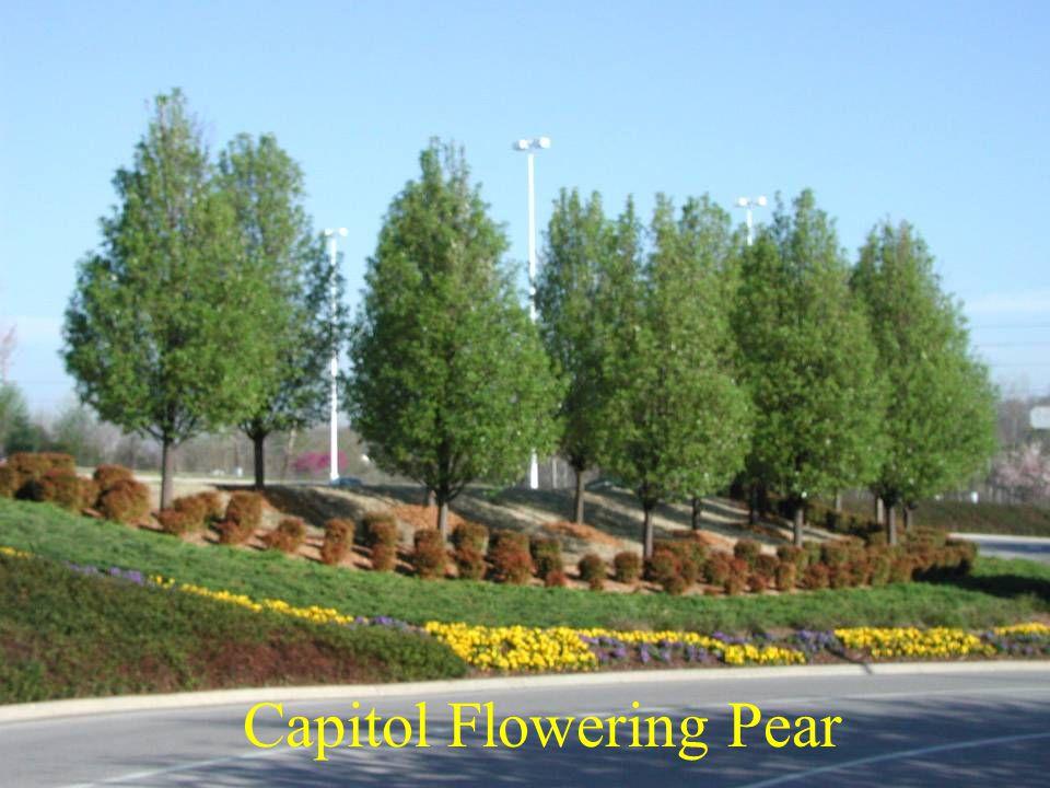 Capitol Flowering Pear