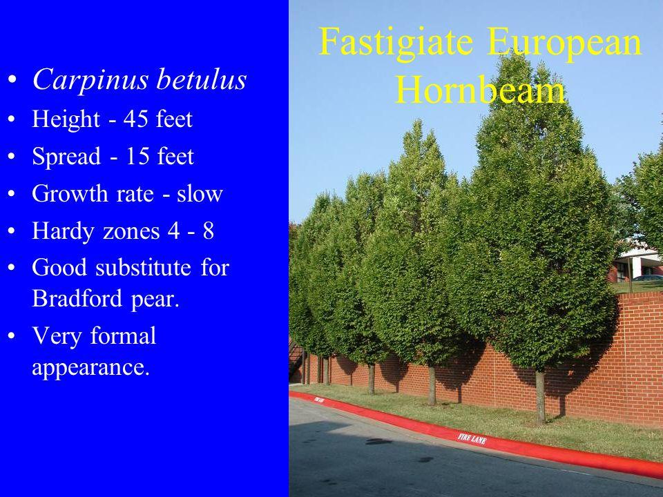Fastigiate European Hornbeam Carpinus betulus Height - 45 feet Spread - 15 feet Growth rate - slow Hardy zones 4 - 8 Good substitute for Bradford pear.