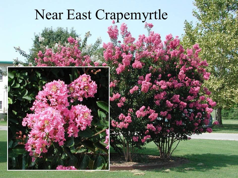 Near East Crapemyrtle