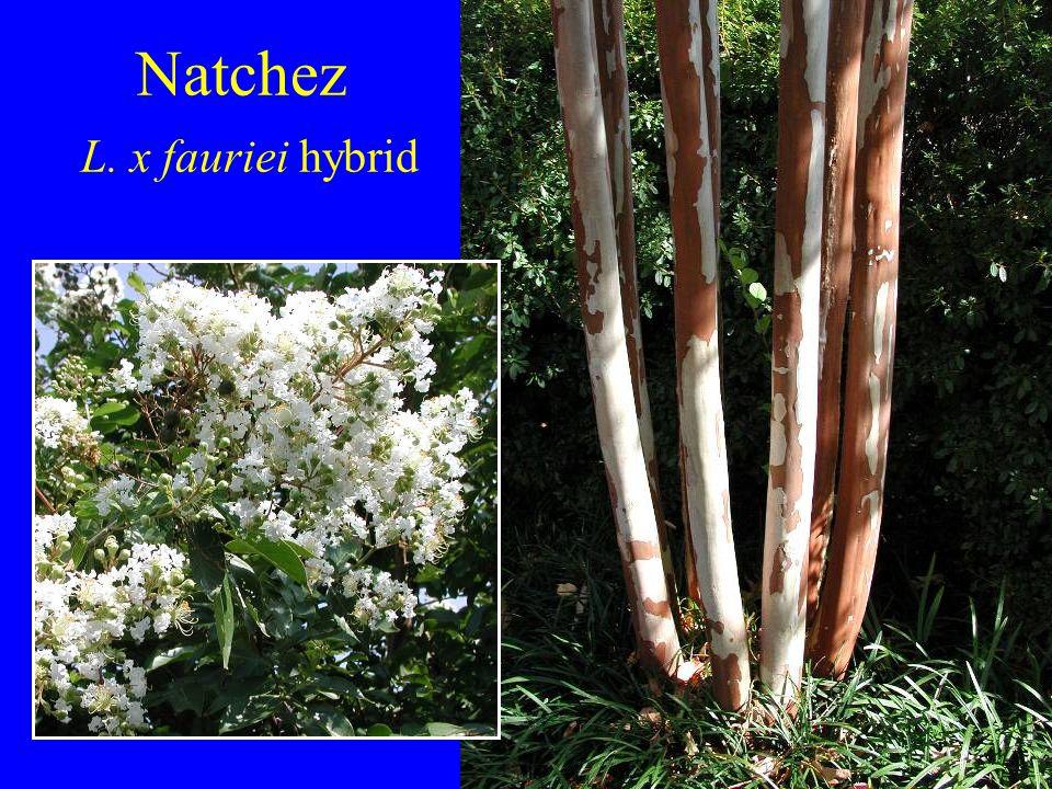 Natchez L. x fauriei hybrid