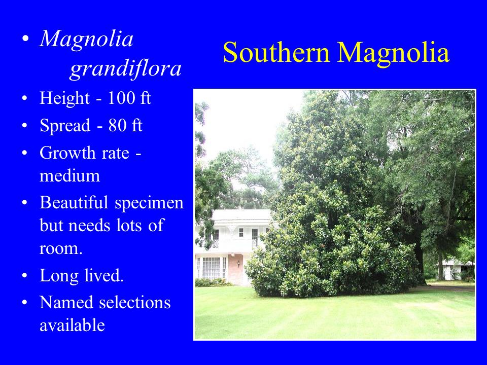 Southern Magnolia Magnolia grandiflora Height - 100 ft Spread - 80 ft Growth rate - medium Beautiful specimen but needs lots of room.