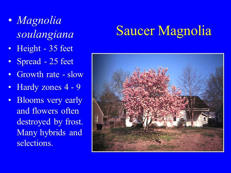 Saucer Magnolia Magnolia soulangiana Height - 35 feet Spread - 25 feet Growth rate - slow Hardy zones 4 - 9 Blooms very early and flowers often destroyed by frost.
