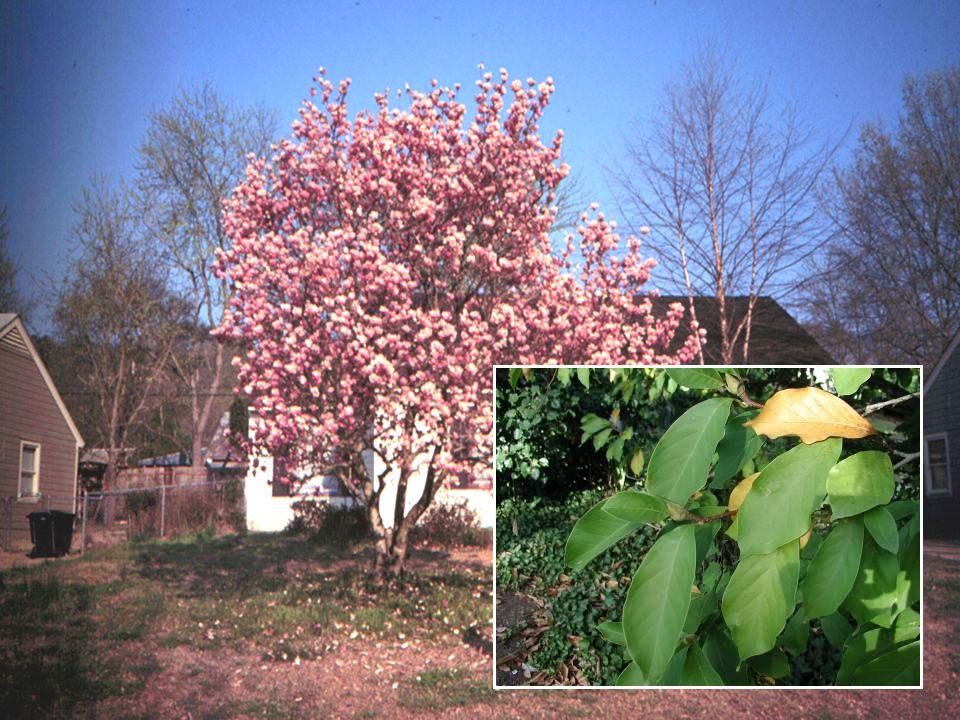 Saucer Magnolia Star Magnolia