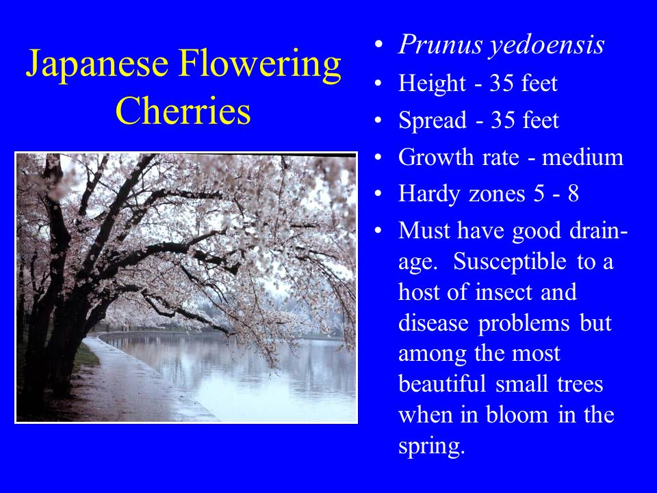 Japanese Flowering Cherries Prunus yedoensis Height - 35 feet Spread - 35 feet Growth rate - medium Hardy zones 5 - 8 Must have good drain- age.