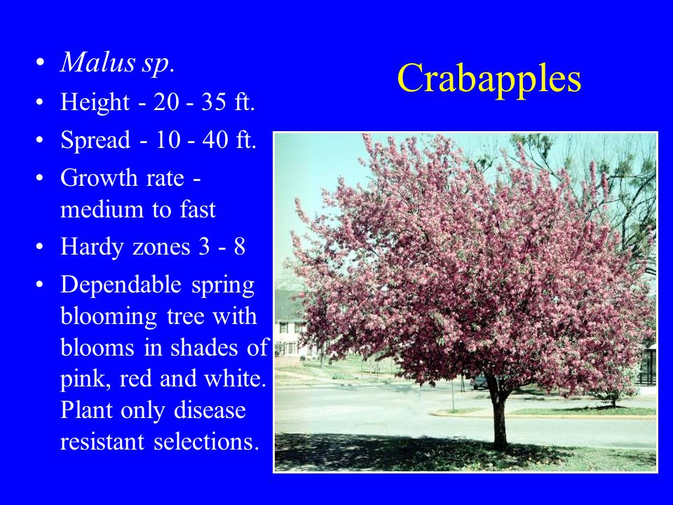 Crabapples Malus sp. Height - 20 - 35 ft. Spread - 10 - 40 ft.