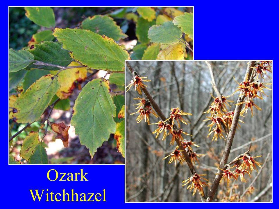Ozark Witchhazel