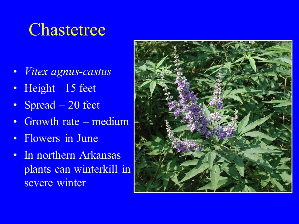 Chastetree Vitex agnus-castus Height –15 feet Spread – 20 feet Growth rate – medium Flowers in June In northern Arkansas plants can winterkill in severe winter