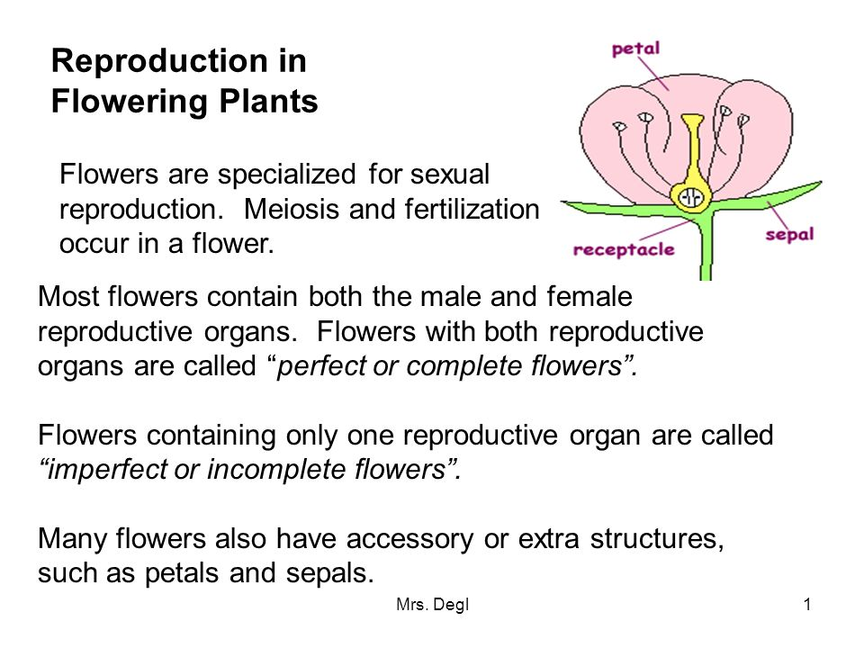 Mrs. Degl1 Reproduction in Flowering Plants Flowers are specialized for sexual reproduction. Meiosis and fertilization occur in a flower. Most flowers
