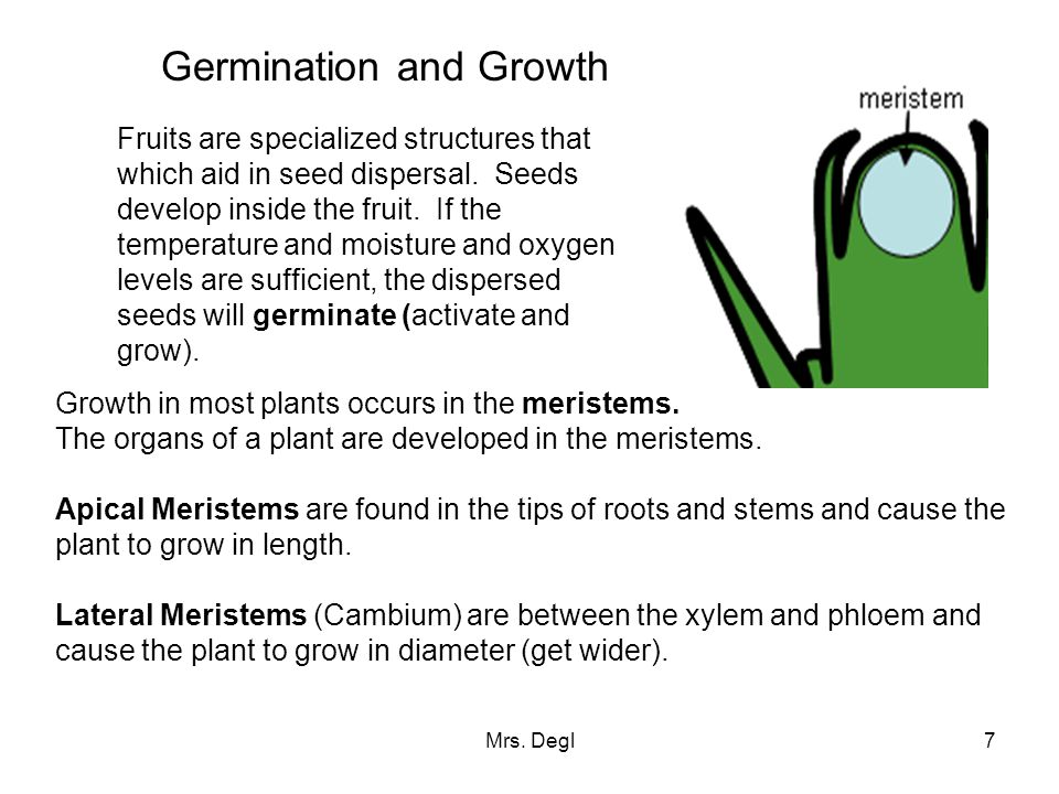 Mrs. Degl7 Germination and Growth Fruits are specialized structures that which aid in seed dispersal. Seeds develop inside the fruit. If the temperatu