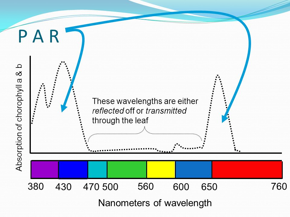 P A R 380 500 560760 650600470430 Nanometers of wavelength Absorption of chorophyll a & b These wavelengths are either reflected off or transmitted through the leaf