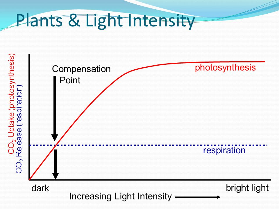 Plants & Light Intensity CO 2 Uptake (photosynthesis) respiration dark bright light CO 2 Release (respiration) photosynthesis Increasing Light Intensity Compensation Point