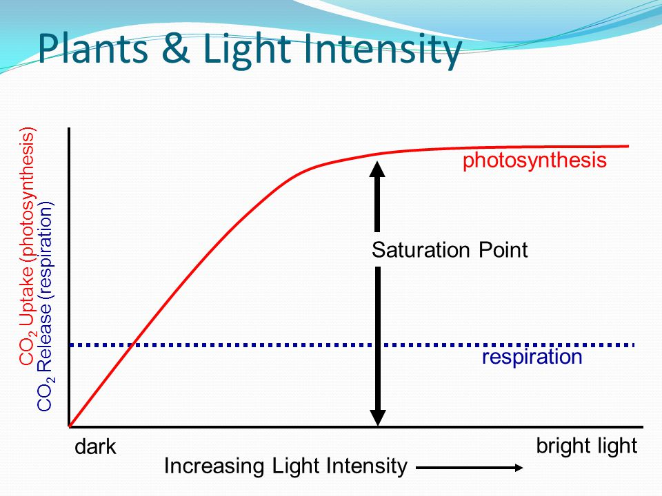 Plants & Light Intensity CO 2 Uptake (photosynthesis) respiration dark bright light CO 2 Release (respiration) photosynthesis Increasing Light Intensity Saturation Point