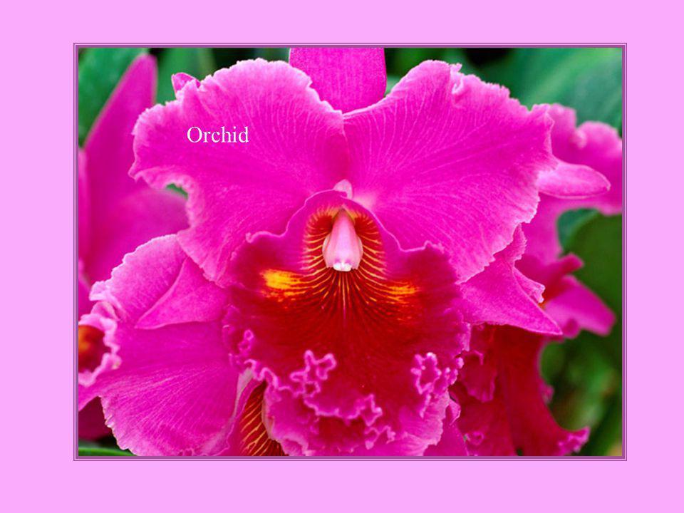 Heliconia stricta Iris Bannochie`