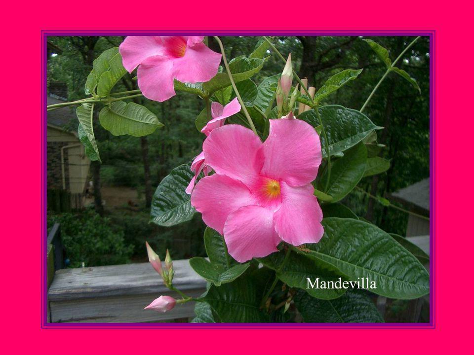 Gaillardia Fanfare Common name, Blanket Flower