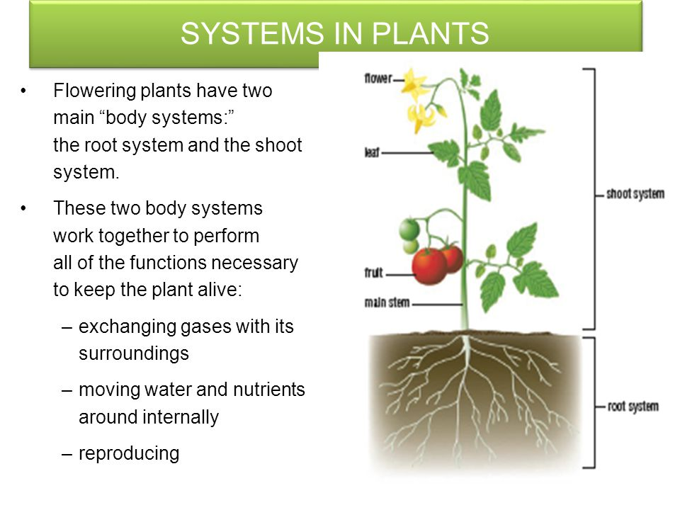 SYSTEMS IN PLANTS Plants are multicellular Organisms with Two obvious distinguishing features: They are usually green They cannot Move from place to p