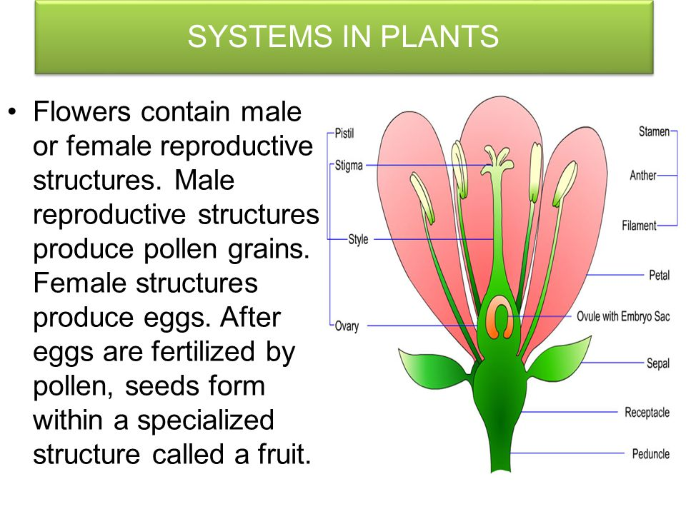 SYSTEMS IN PLANTS The root system is typically the part of the plant that grows underground. Its functions are to anchor the plant, to absorb water an
