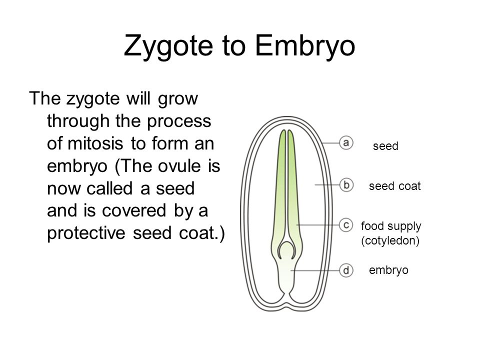 Zygote to Embryo The zygote will grow through the process of mitosis to form an embryo (The ovule is now called a seed and is covered by a protective