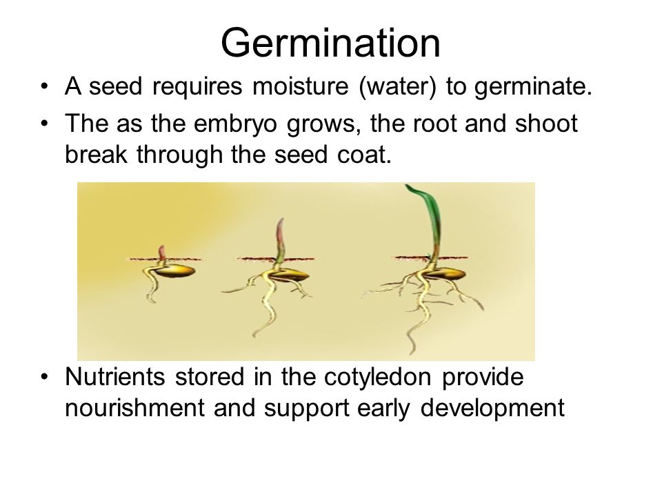 Germination A seed requires moisture (water) to germinate. The as the embryo grows, the root and shoot break through the seed coat. Nutrients stored i