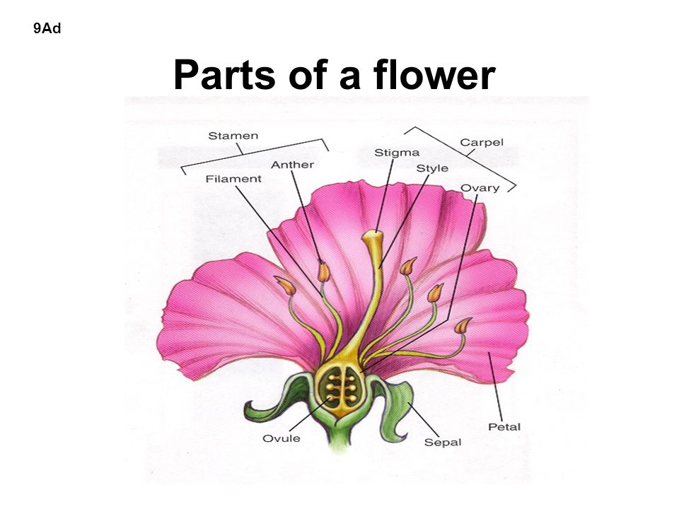 Parts of a flower 9Ad