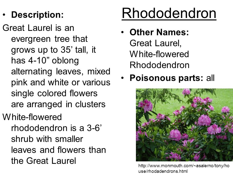 Rhododendron Description: Great Laurel is an evergreen tree that grows up to 35 tall, it has 4-10 oblong alternating leaves, mixed pink and white or v