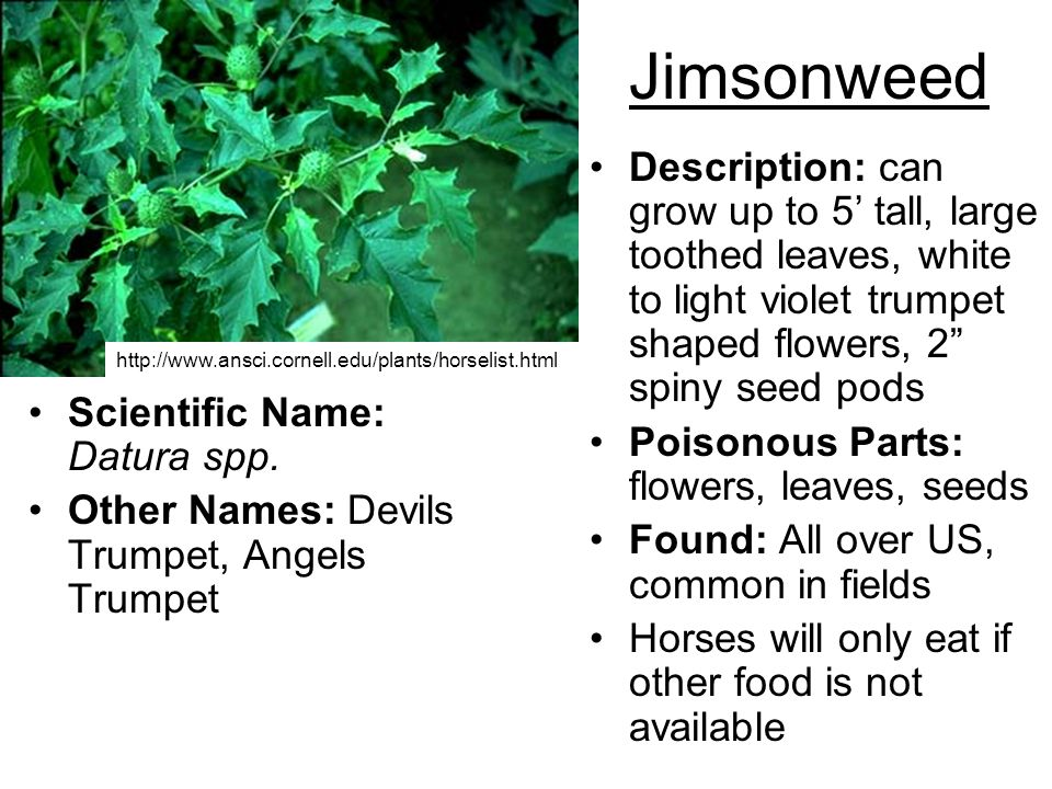 Jimsonweed Description: can grow up to 5 tall, large toothed leaves, white to light violet trumpet shaped flowers, 2 spiny seed pods Poisonous Parts: