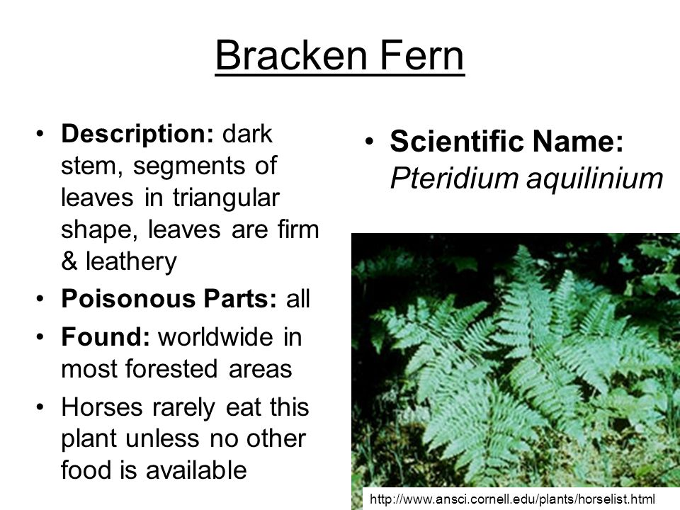 Bracken Fern Description: dark stem, segments of leaves in triangular shape, leaves are firm & leathery Poisonous Parts: all Found: worldwide in most