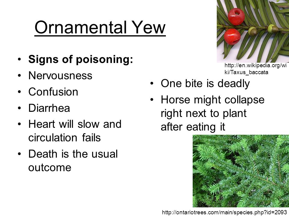Ornamental Yew Signs of poisoning: Nervousness Confusion Diarrhea Heart will slow and circulation fails Death is the usual outcome One bite is deadly