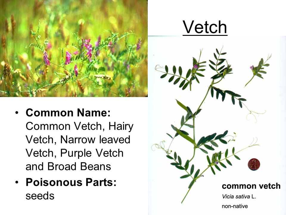 Vetch Common Name: Common Vetch, Hairy Vetch, Narrow leaved Vetch, Purple Vetch and Broad Beans Poisonous Parts: seeds