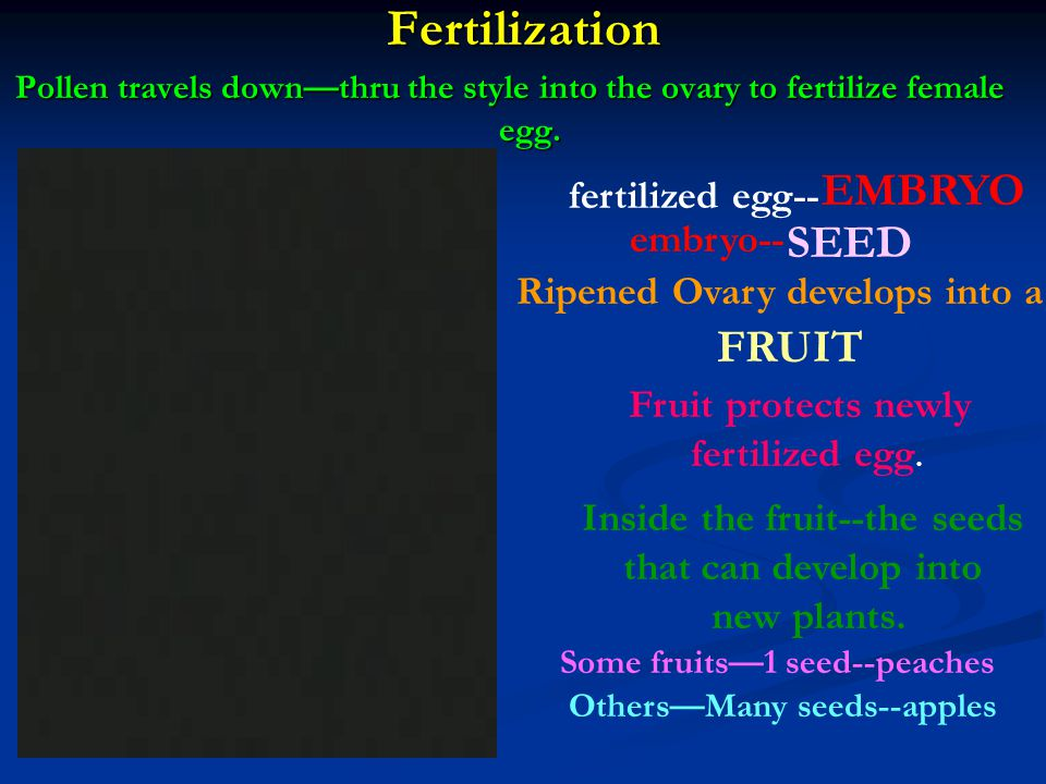 Fertilization Pollen travels downthru the style into the ovary to fertilize female egg.