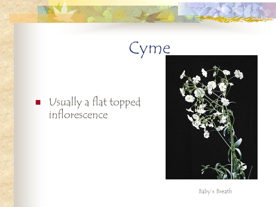 Cyme Usually a flat topped inflorescence Babys Breath