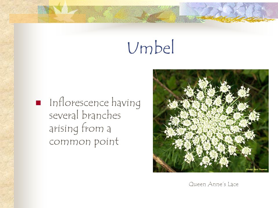 Umbel Inflorescence having several branches arising from a common point Queen Annes Lace