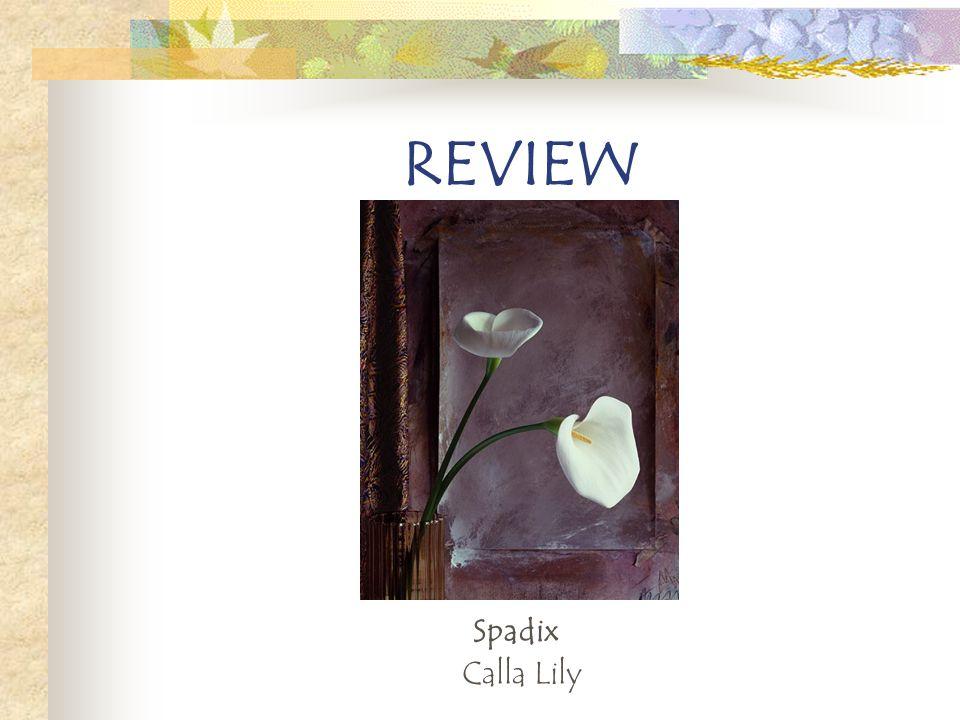 Spadix Calla Lily