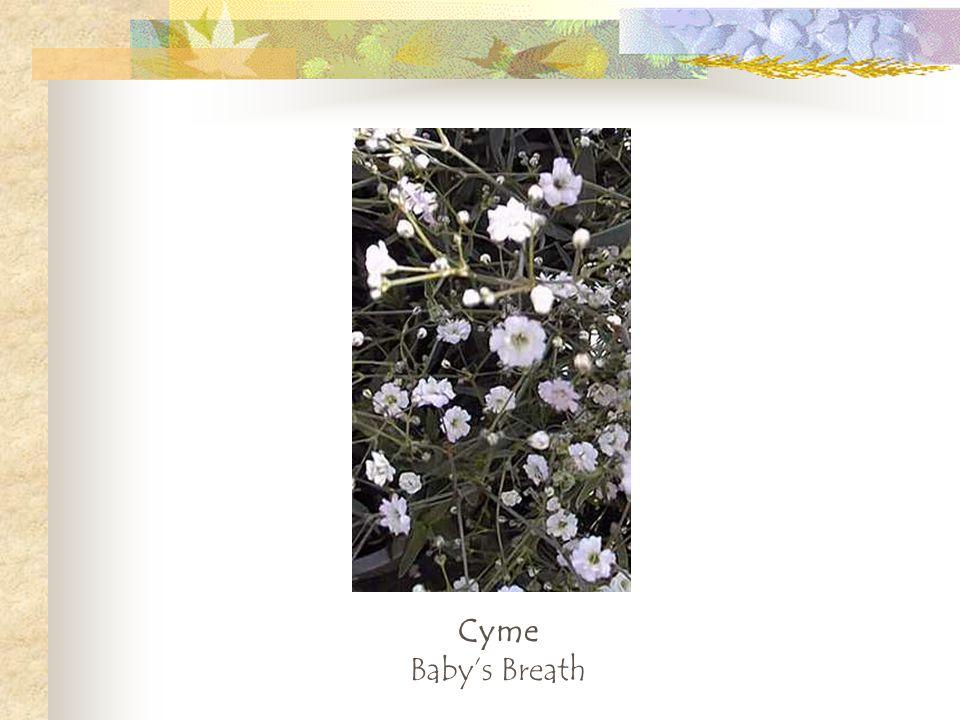 Cyme Babys Breath