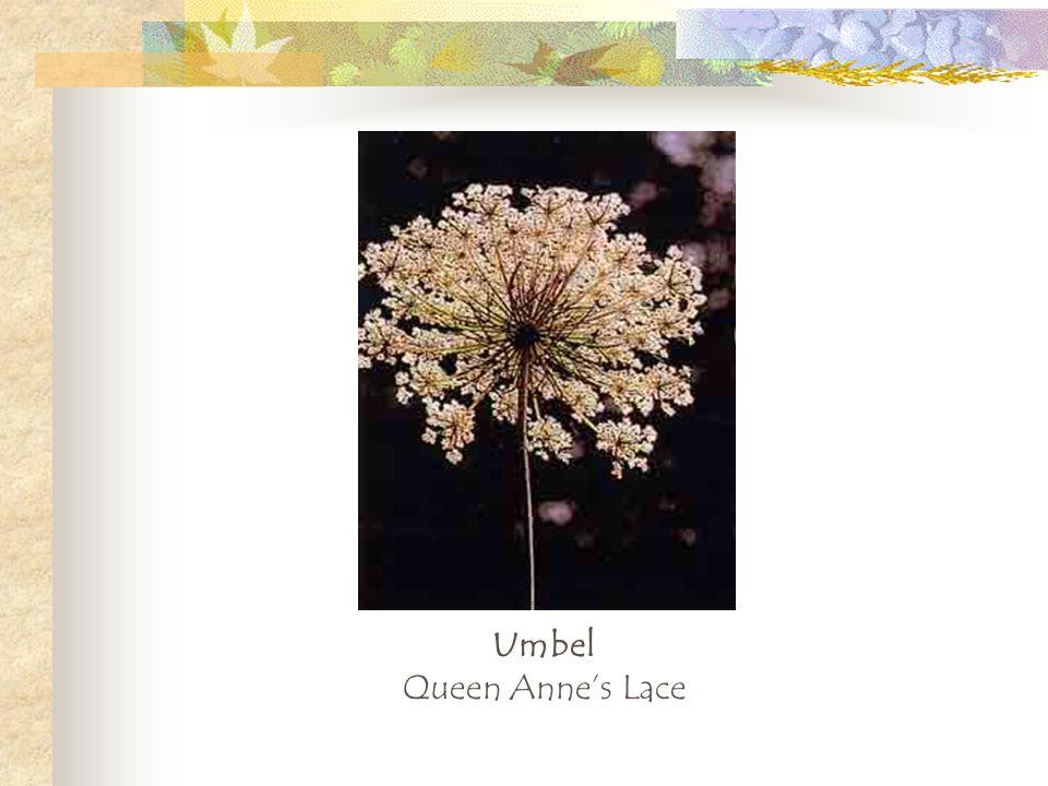 Umbel Queen Annes Lace
