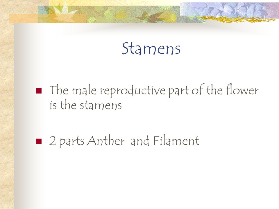 Stamens The male reproductive part of the flower is the stamens 2 parts Anther and Filament