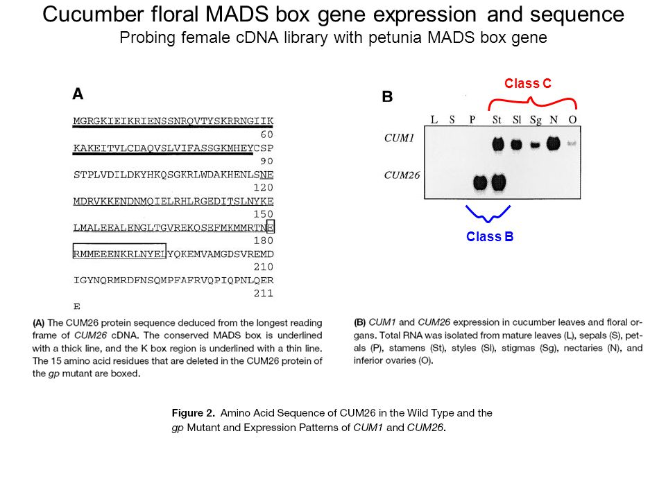 Cucumber floral MADS box gene expression and sequence Probing female cDNA library with petunia MADS box gene Class C Class B