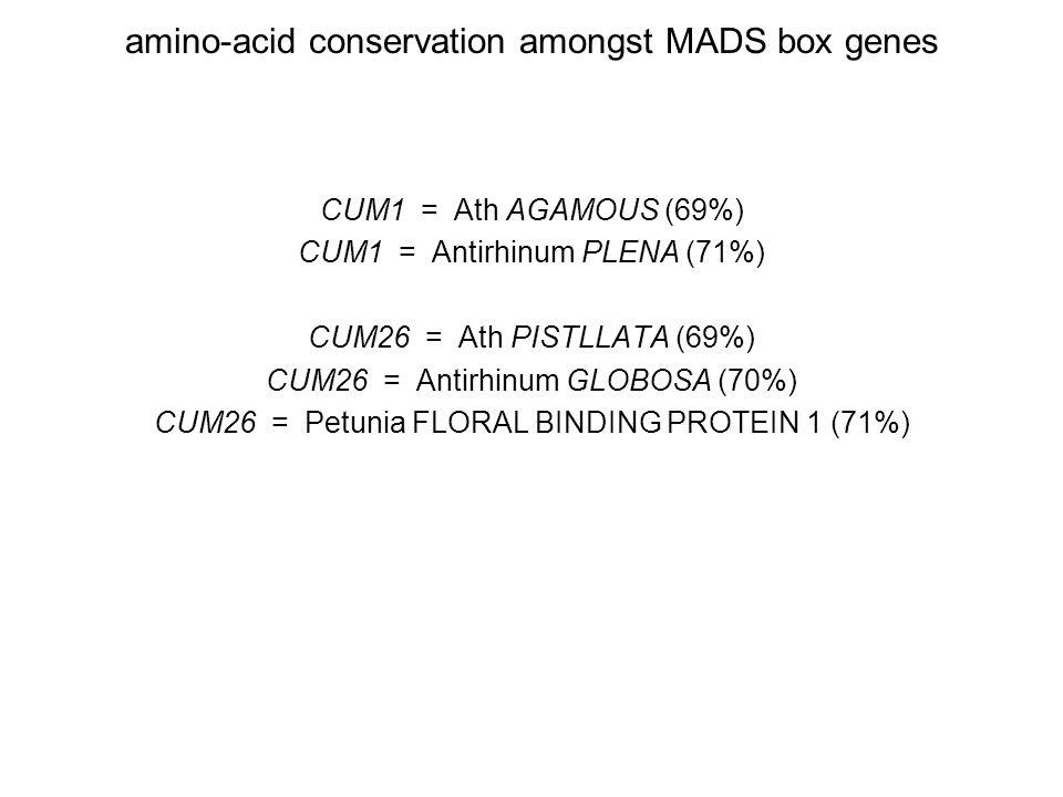amino-acid conservation amongst MADS box genes CUM1 = Ath AGAMOUS (69%) CUM1 = Antirhinum PLENA (71%) CUM26 = Ath PISTLLATA (69%) CUM26 = Antirhinum GLOBOSA (70%) CUM26 = Petunia FLORAL BINDING PROTEIN 1 (71%)