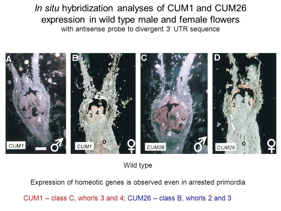 In situ hybridization analyses of CUM1 and CUM26 expression in wild type male and female flowers with antisense probe to divergent 3 UTR sequence CUM1 – class C, whorls 3 and 4; CUM26 – class B, whorls 2 and 3 Wild type Expression of homeotic genes is observed even in arrested primordia