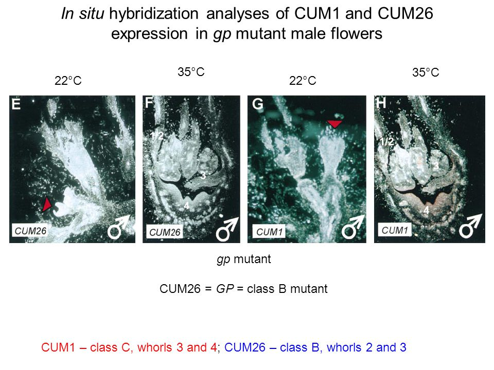 In situ hybridization analyses of CUM1 and CUM26 expression in gp mutant male flowers gp mutant CUM26 = GP = class B mutant CUM1 – class C, whorls 3 and 4; CUM26 – class B, whorls 2 and 3 22°C 35°C 22°C 35°C