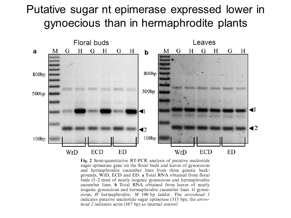 Putative sugar nt epimerase expressed lower in gynoecious than in hermaphrodite plants Floral buds Leaves