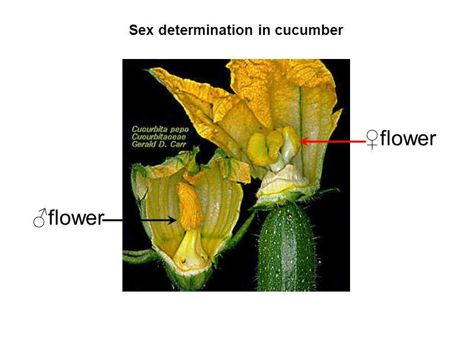 Sex determination in cucumber flower
