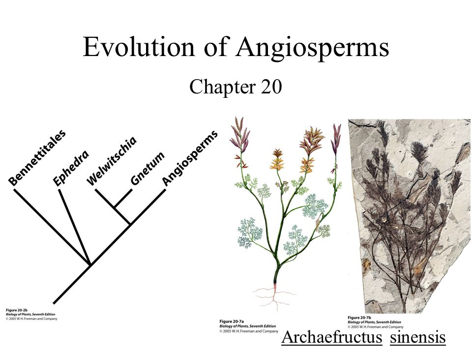 Evolution of Angiosperms Chapter 20 Archaefructus sinensis