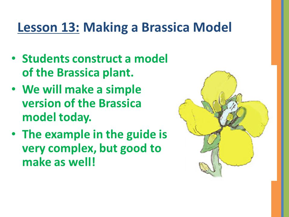 Lesson 13: Making a Brassica Model Students construct a model of the Brassica plant.