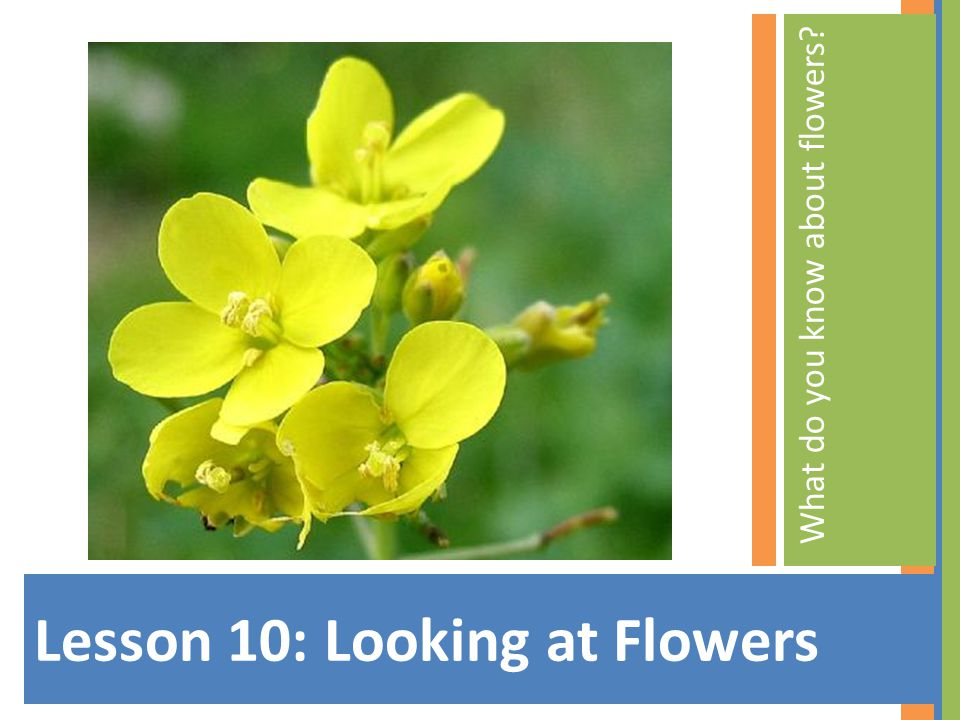 Lesson 10: Looking at Flowers What do you know about flowers