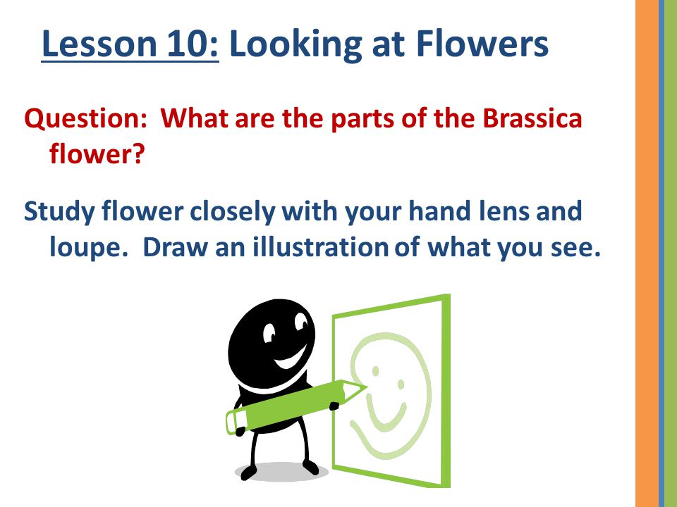 Lesson 10: Looking at Flowers Question: What are the parts of the Brassica flower? Study flower closely with your hand lens and loupe. Draw an illustr