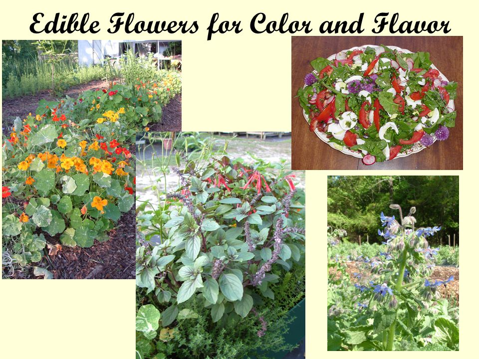Edible Flowers for Color and Flavor